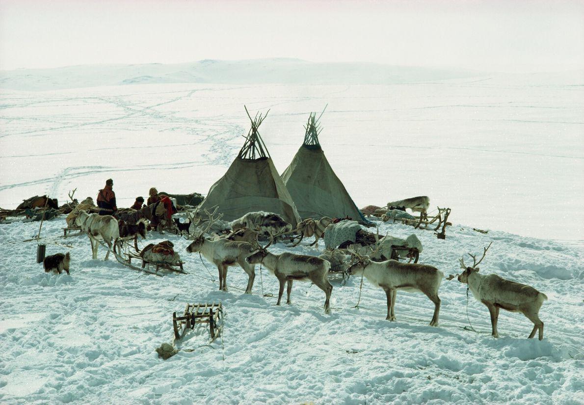 Norvège, 1971 : ce n'est que récemment que les Samis ont adopté un style de vie nomade. ...