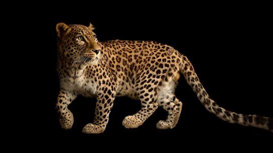 Joel Sartore a photographié cette panthère de Perse dans le cadre du projet photographique Photo Ark, ...