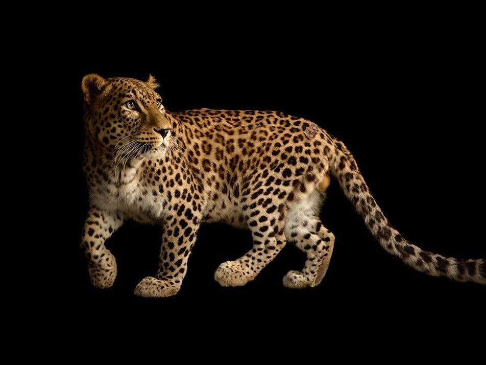 Big Cat Initiative : 20 ans d'engagement pour la préservation des grands félins