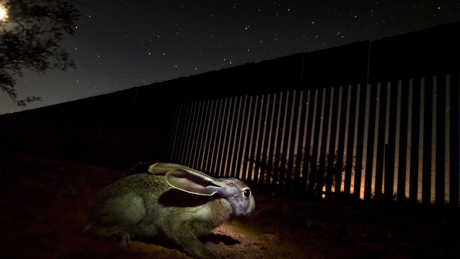 Un lièvre se trouve près de la rivière San Pedro, au Mexique, au sud du mur ...