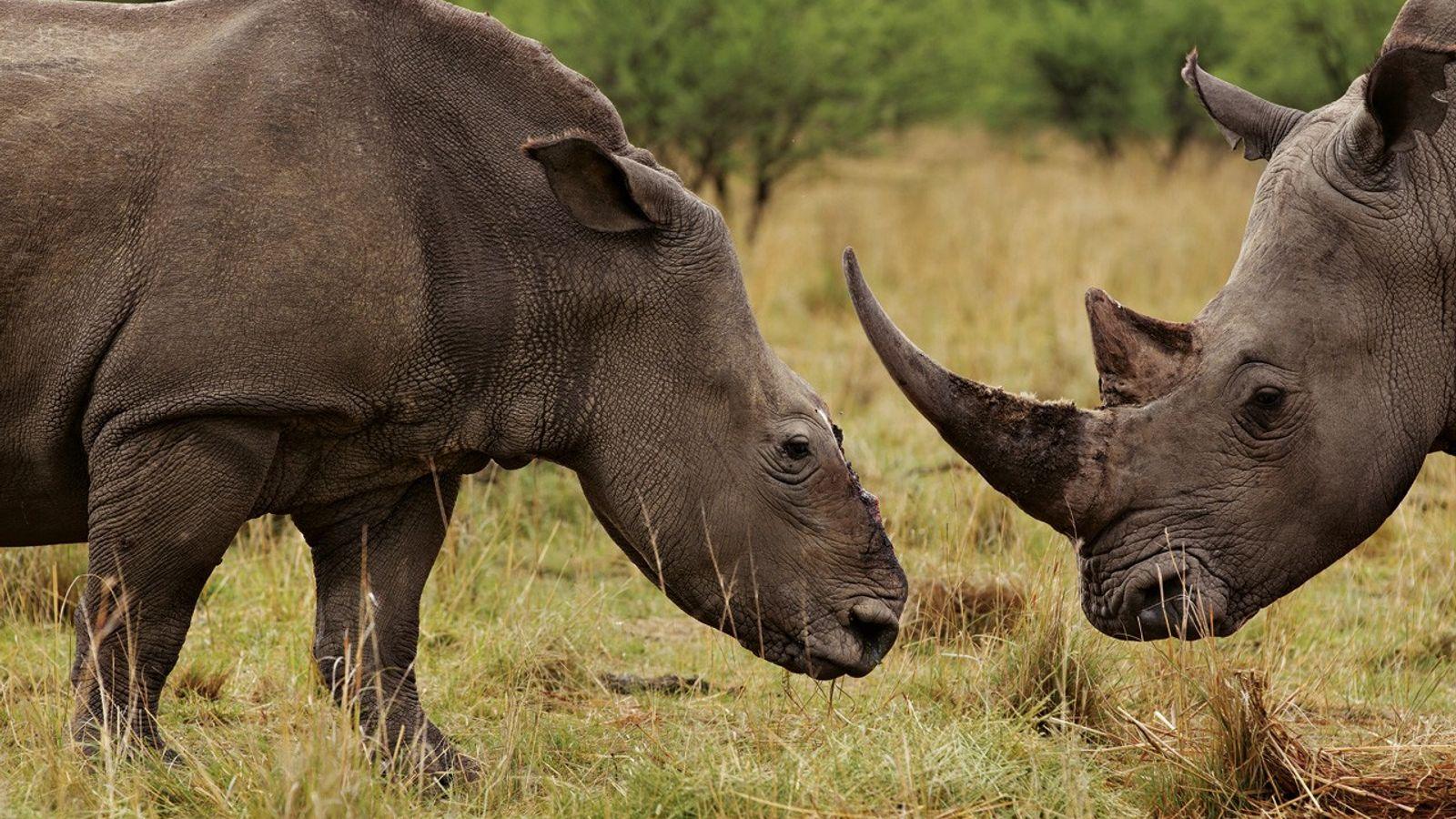 Des rhinocéros pourchassés