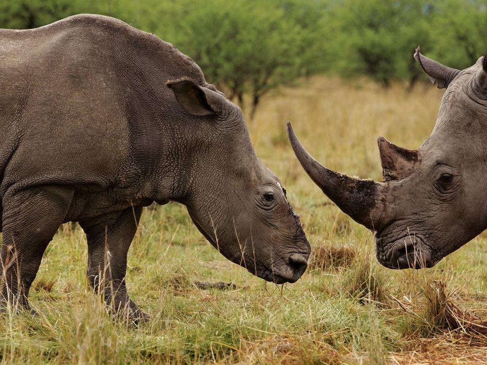 Saisie de 116 kilos de cornes de rhinocéros en Malaisie