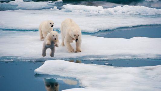 Les ours blancs menacés par le réchauffement climatique