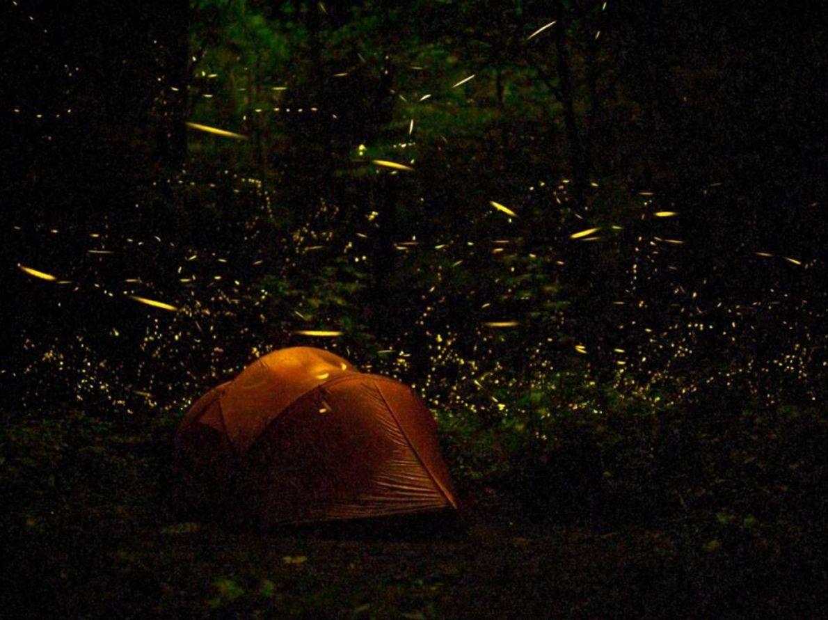 Plus d'une douzaine d'espèces de lucioles peuplent le parc national des Great Smoky Mountains. Ces illuminations ...