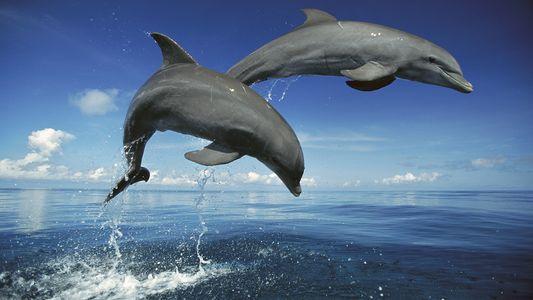 Ces dauphins sont des chasseurs rusés