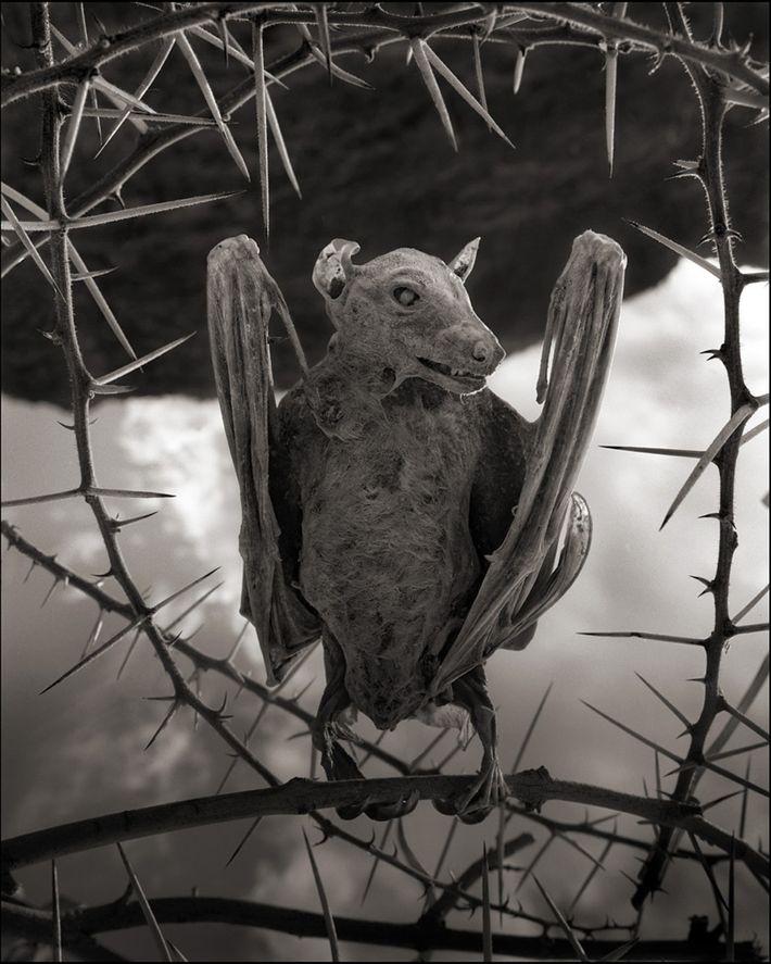 Chauve-souris « momifiée »