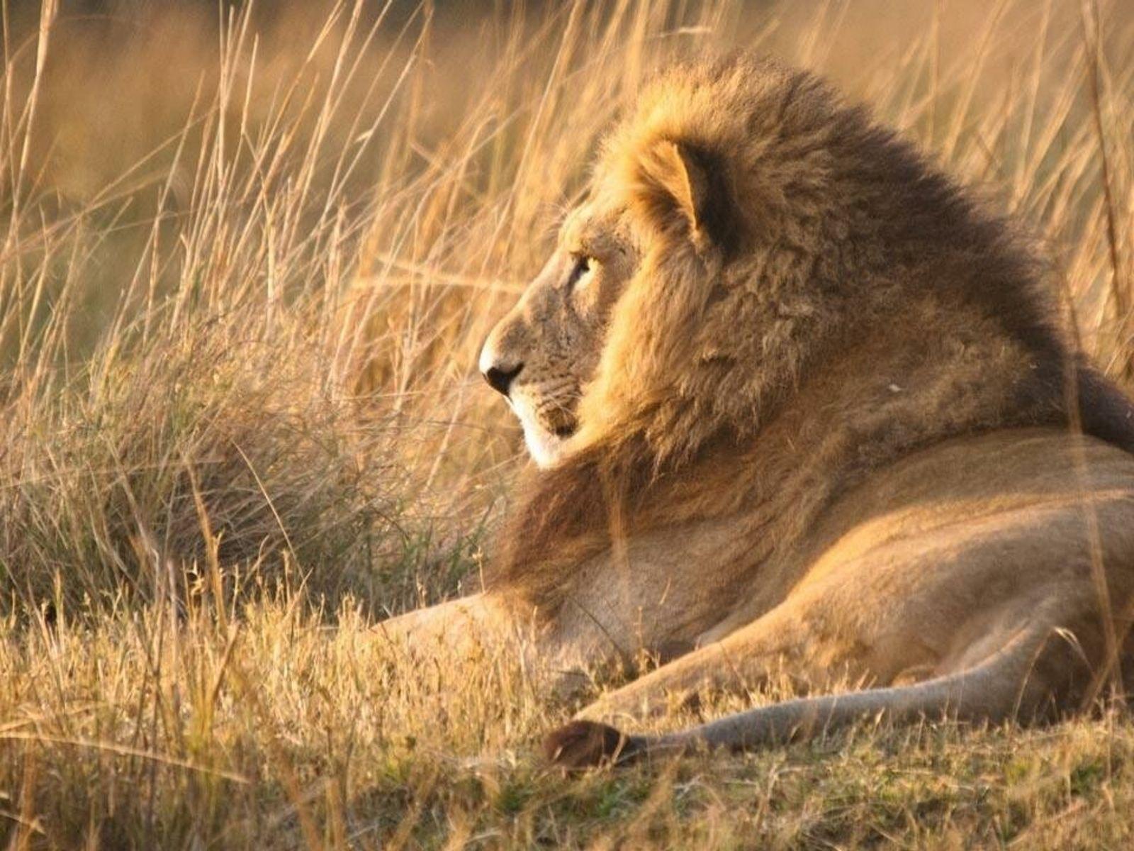 Les lions succombent parfois à l'attrait de la chair humaine.