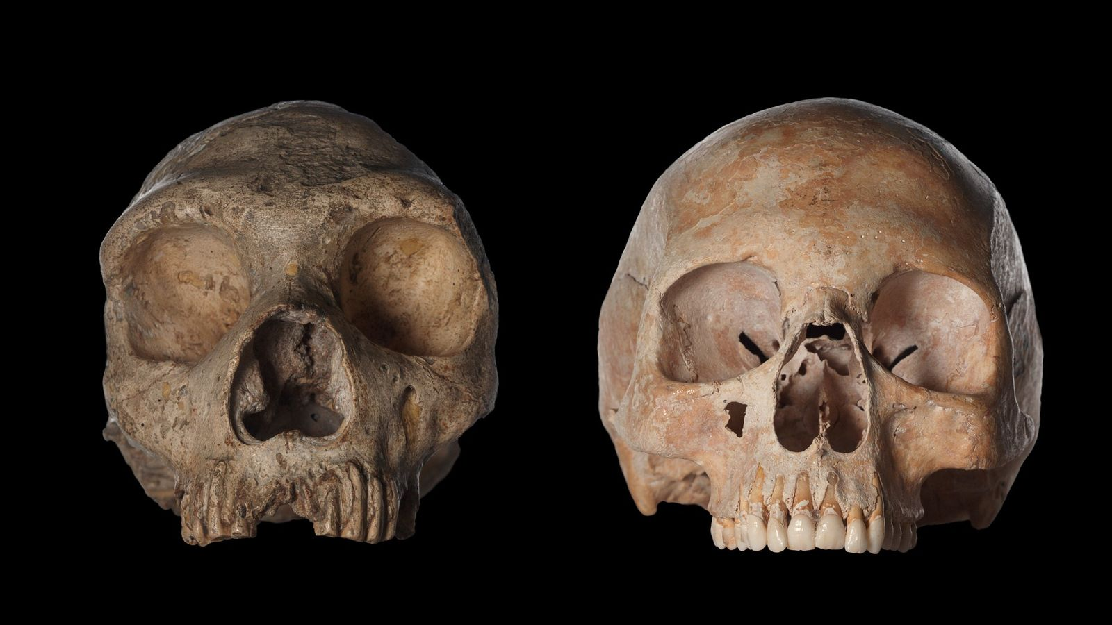 Un crâne d' Homo neanderthalensis (à gauche) et celui d'un Homo sapiens moderne (à droite).