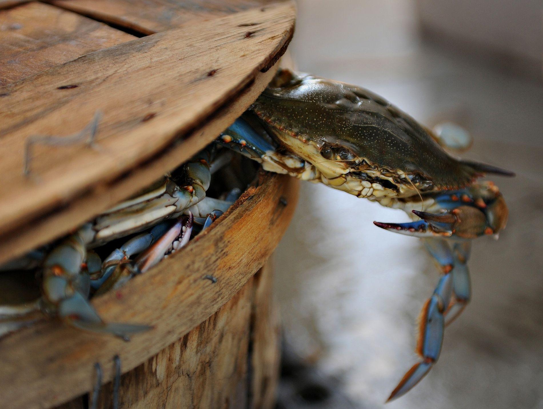 Un crabe bleu du Maryland essayant de s'enfuir.