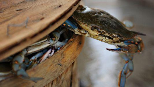 Faut-il se méfier de la présence du crabe bleu sur les côtes françaises ?