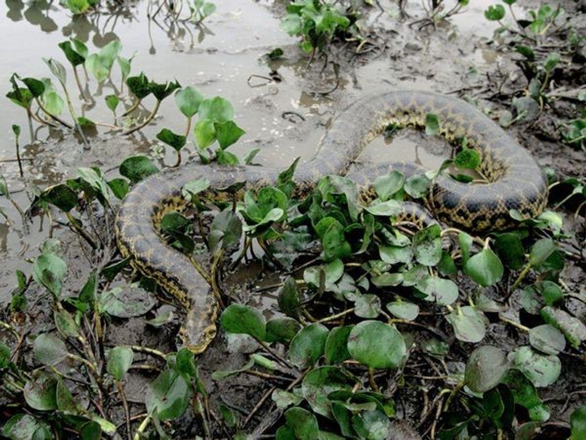 Maladroit sur terre mais très agile dans l'eau, l'anaconda vit dans les marécages et les forêts ...