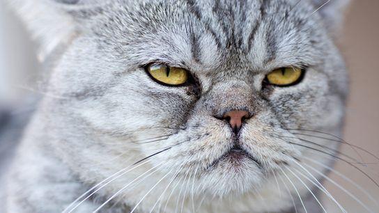 Photo d'un chat gris domestique