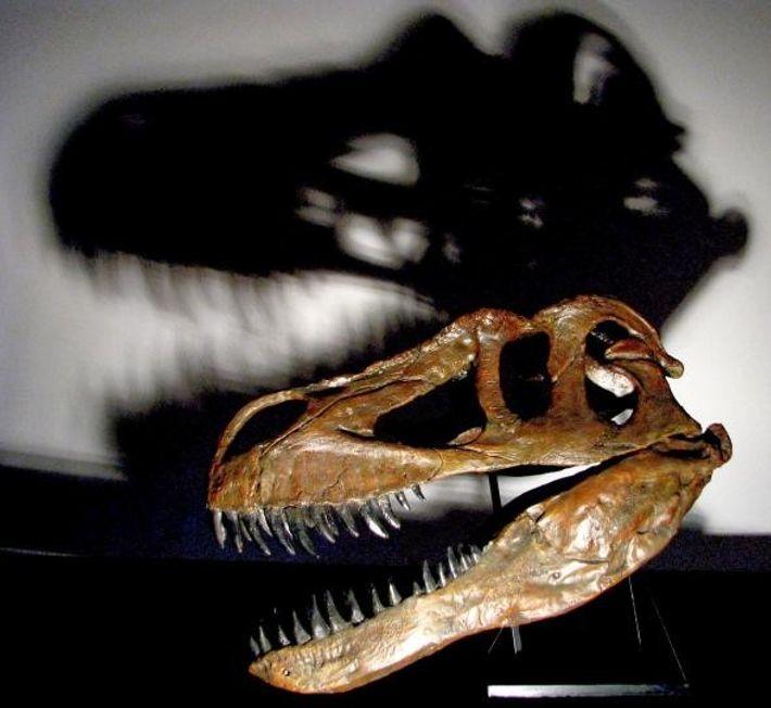Le crâne imposant et solide de Torvosaurus gurneyi lui permettait d'abattre ses proies.