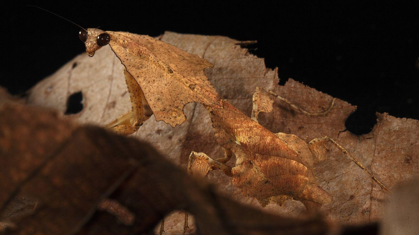 Portrait d'une mante feuille-morte en plein mimétisme au milieu d'un tas de feuilles mortes