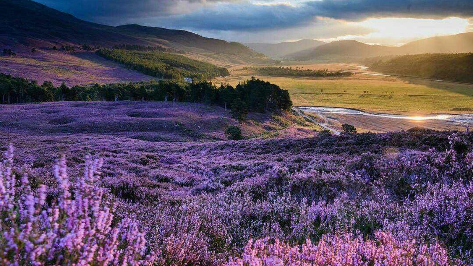 La bruyère commune, ou callune, plante persistante qui fleurit en nuances de rose, blanc et violet, ...