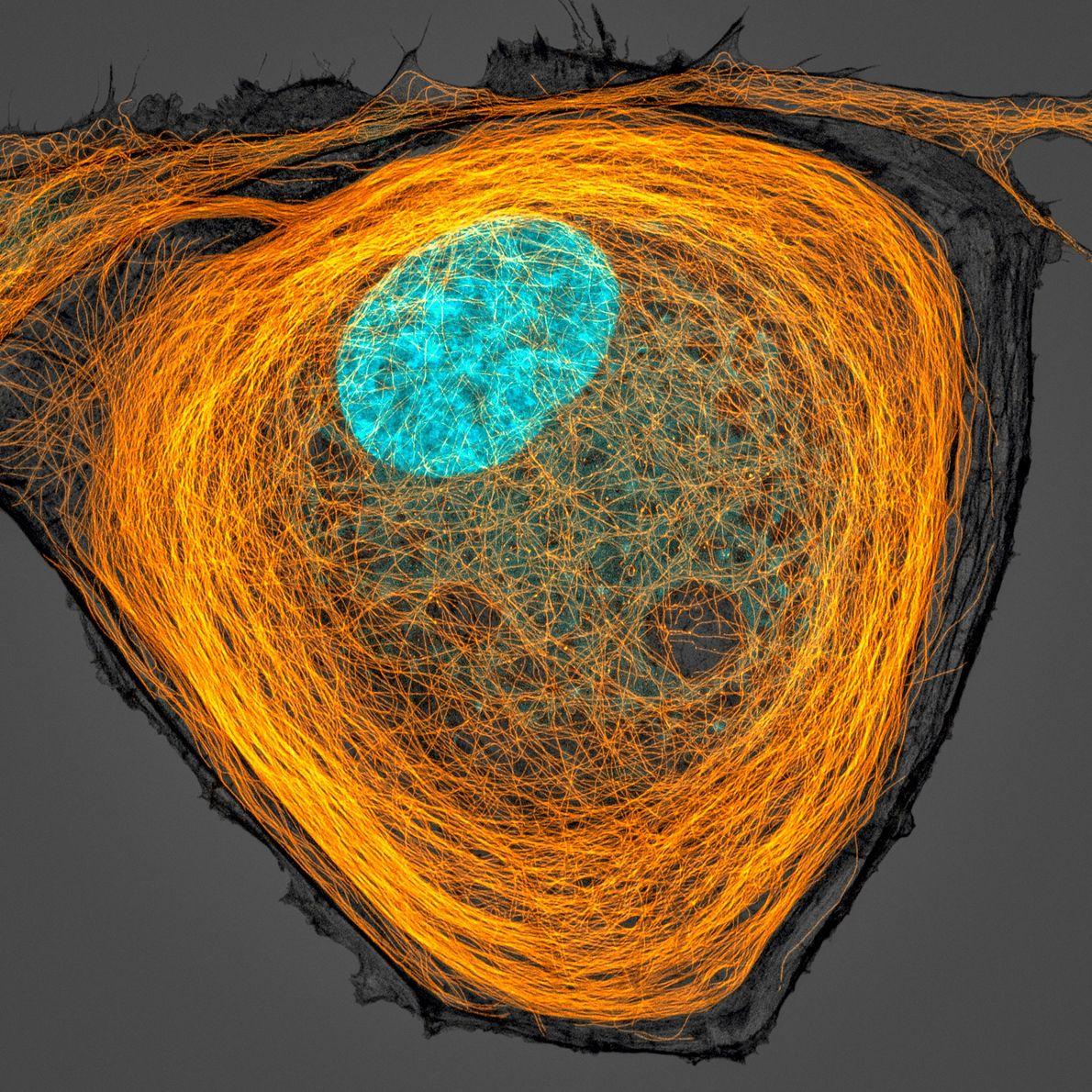 Jason Kirk du Baylor College of Medicine a ici capturé un noyau richement coloré (cyan) entouré ...