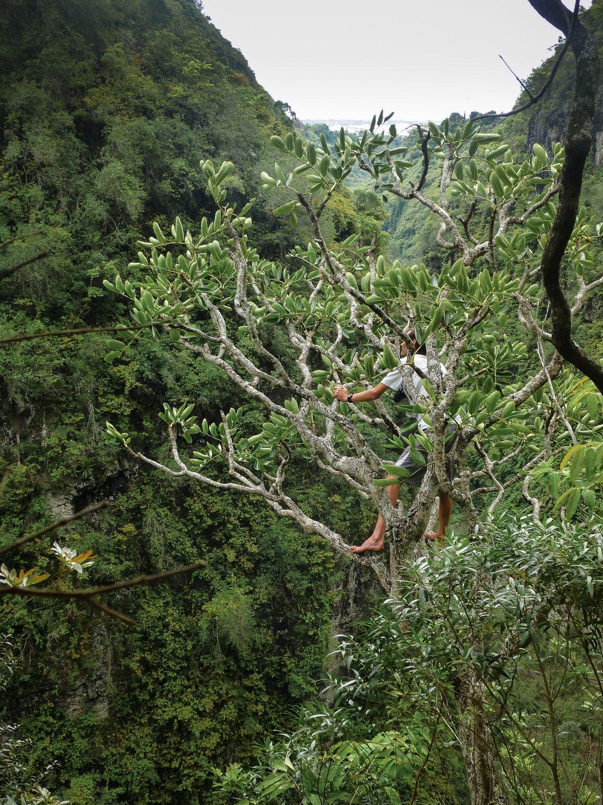 Jean-Louis observe de près un bois d'éponge (polyscias cutispongia), une espèce endémique rarement vue en milieu ...