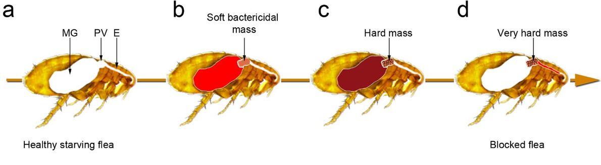 Modèle simplifié des étapes menant au blocage des puces. La capacité de la bactérie à produire ...