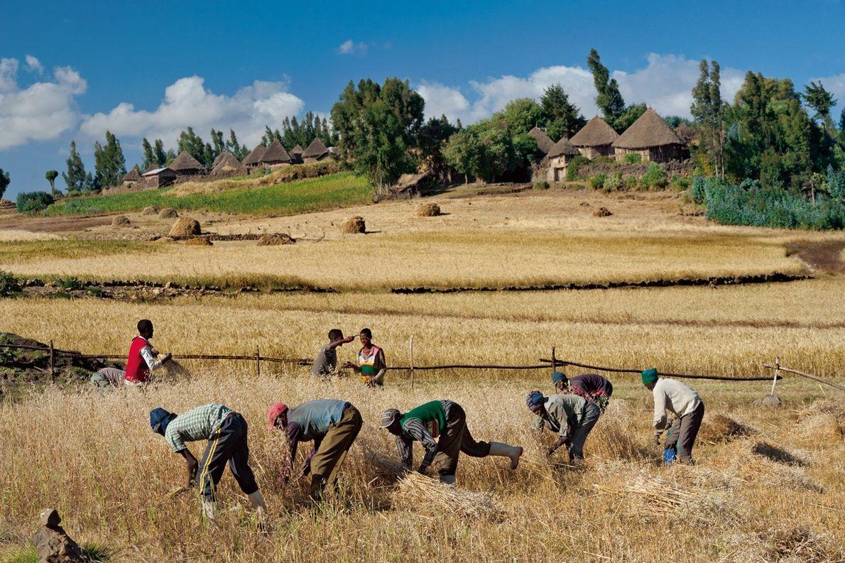 Le savoir-faire éthiopien à notre rescousse