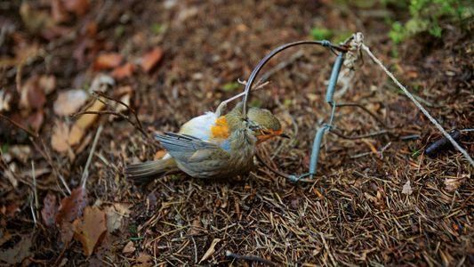 En Méditerranée, les oiseaux chanteurs sont chassés, piégés, tués et mangés