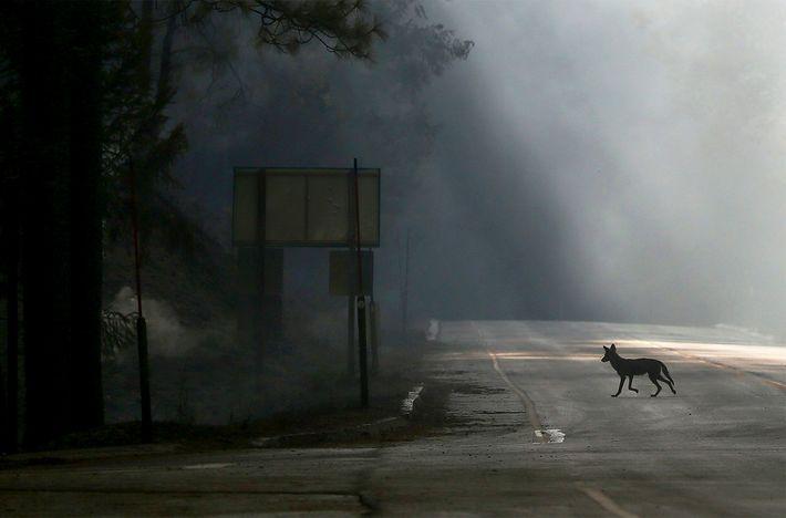 Un coyote traverse la US Highway 120, fermée en raison de l'incendie de Rim près de ...