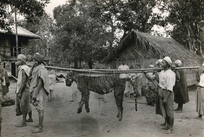 En Birmanie, des villageois transportent la dépouille d'un tigre, abattu suite à l'attaque de leur village, ...