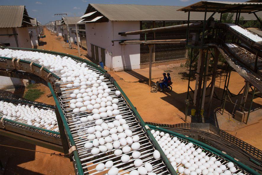 En Amérique latine, ce sont plus de 13 milliards de kilos d'œufs et de lait par ...
