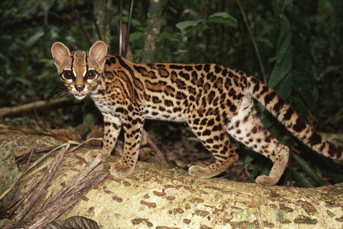 Ce margay (Leopardus wiedii), un félin qui vit presque exclusivement dans les arbres, ouvre grand les ...