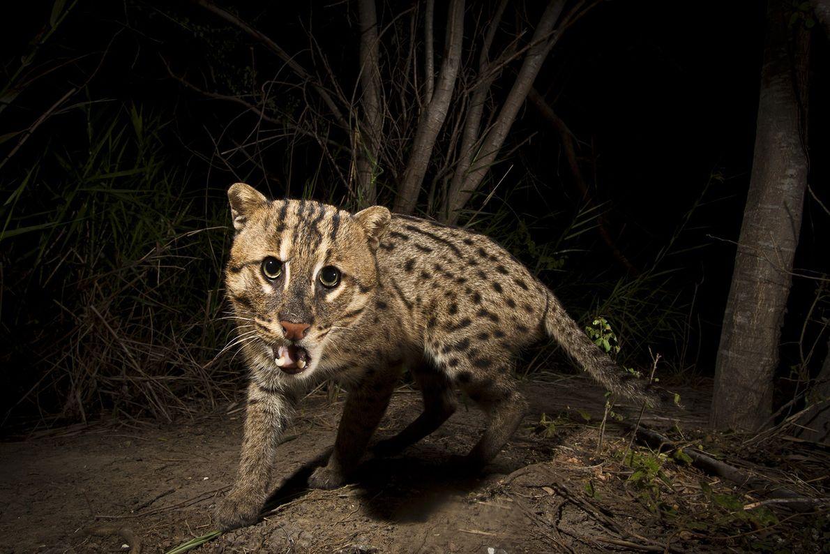 Un chat viverrin (Prionailurus viverrinus) ou chat pêcheur déclenche le piège photographique d'une ferme piscicole du ...