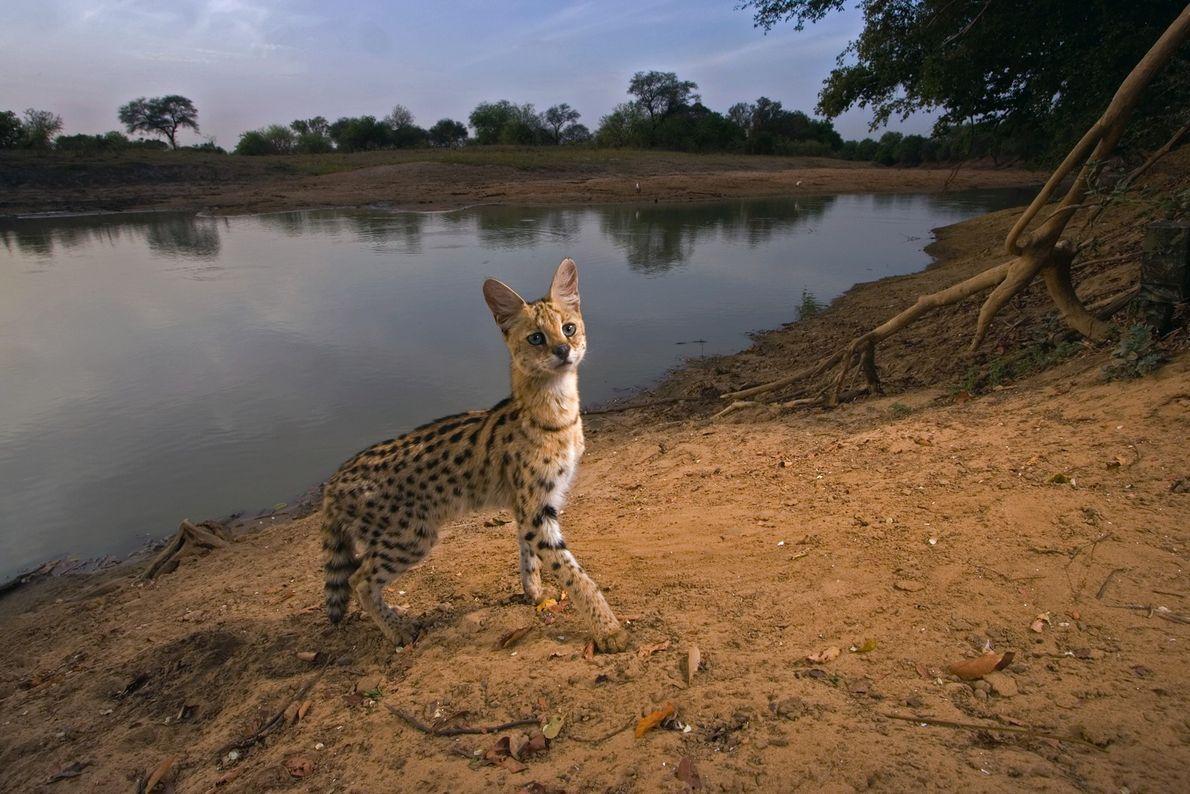 Un serval (Leptailurus serval) déclenche un appareil photo à distance dans le parc national de Zakouma, ...