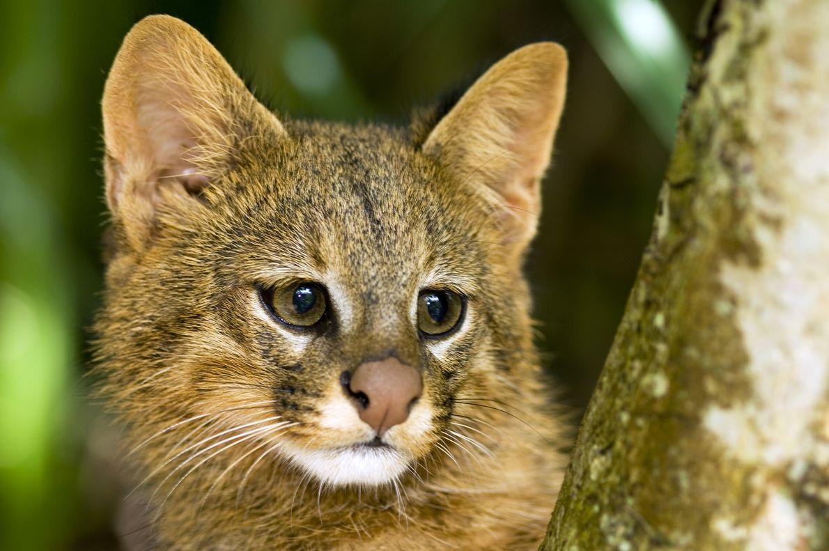 Le chat des pampas (Leopardus colocolo) observe attentivement les alentours perché sur une branche d'arbre au ...