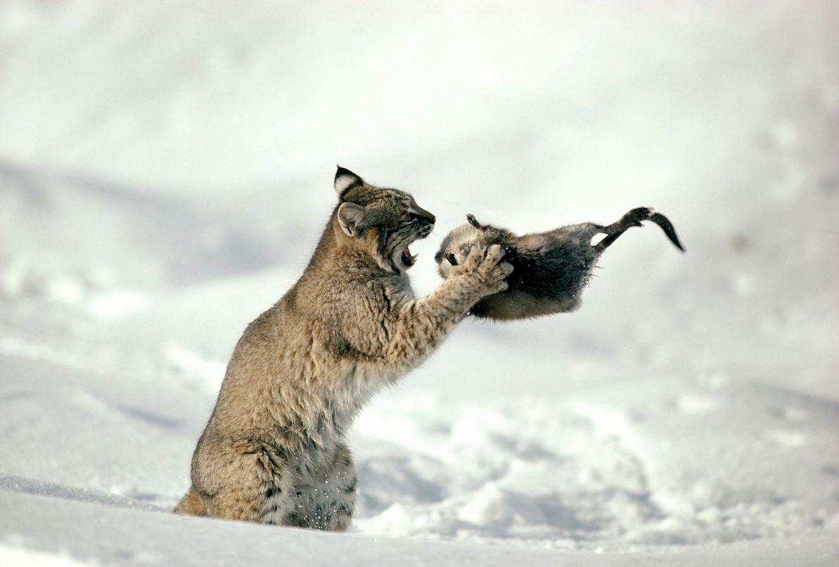 Dans cette photo prise en 1997, un lynx roux (Lynx rufus) s'apprête à dévorer un rat ...