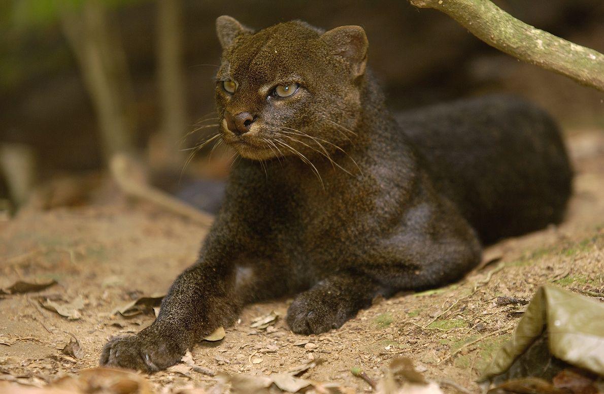 Les oreilles courtes du jaguarondi ne font pas immédiatement penser à celles du chat. Toutefois, son ...