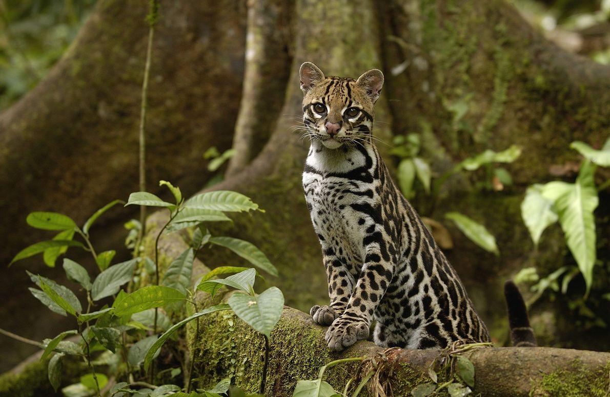 Un ocelot (Leopardus pardalis) pose au pied d'un arbre dans la forêt tropicale amazonienne d'Équateur.