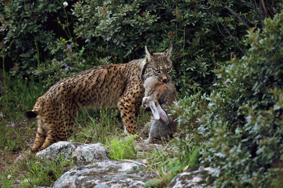 Le lynx ibérique (Lynx pardinus) ou lynx pardelle, est probablement à ce jour l'espèce de chat ...