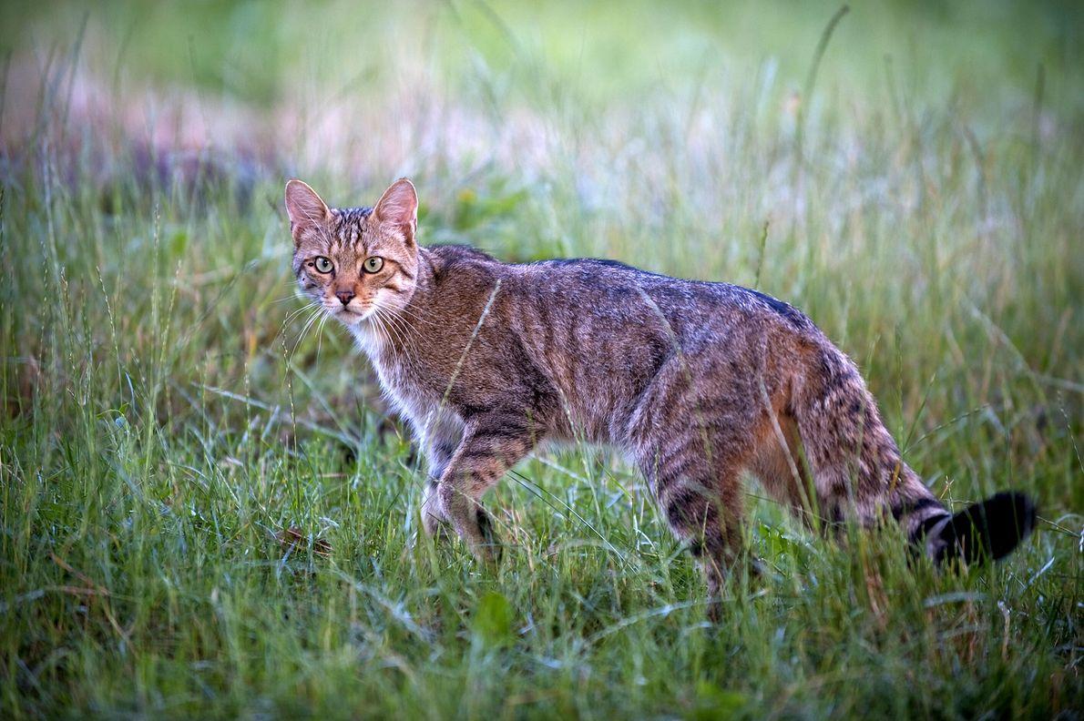 Un chat sauvage d'Europe (Felis silvestris) prend la pose dans les prairies de Moldavie en 2009