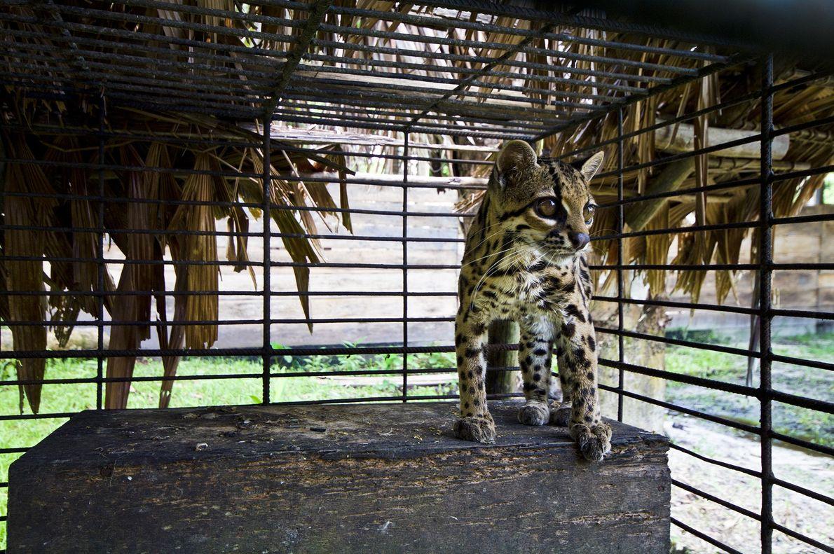 Cet oncille (Leopardus tigrinus), également connu sous le nom de chat-tigre ou chat tacheté, observe son ...