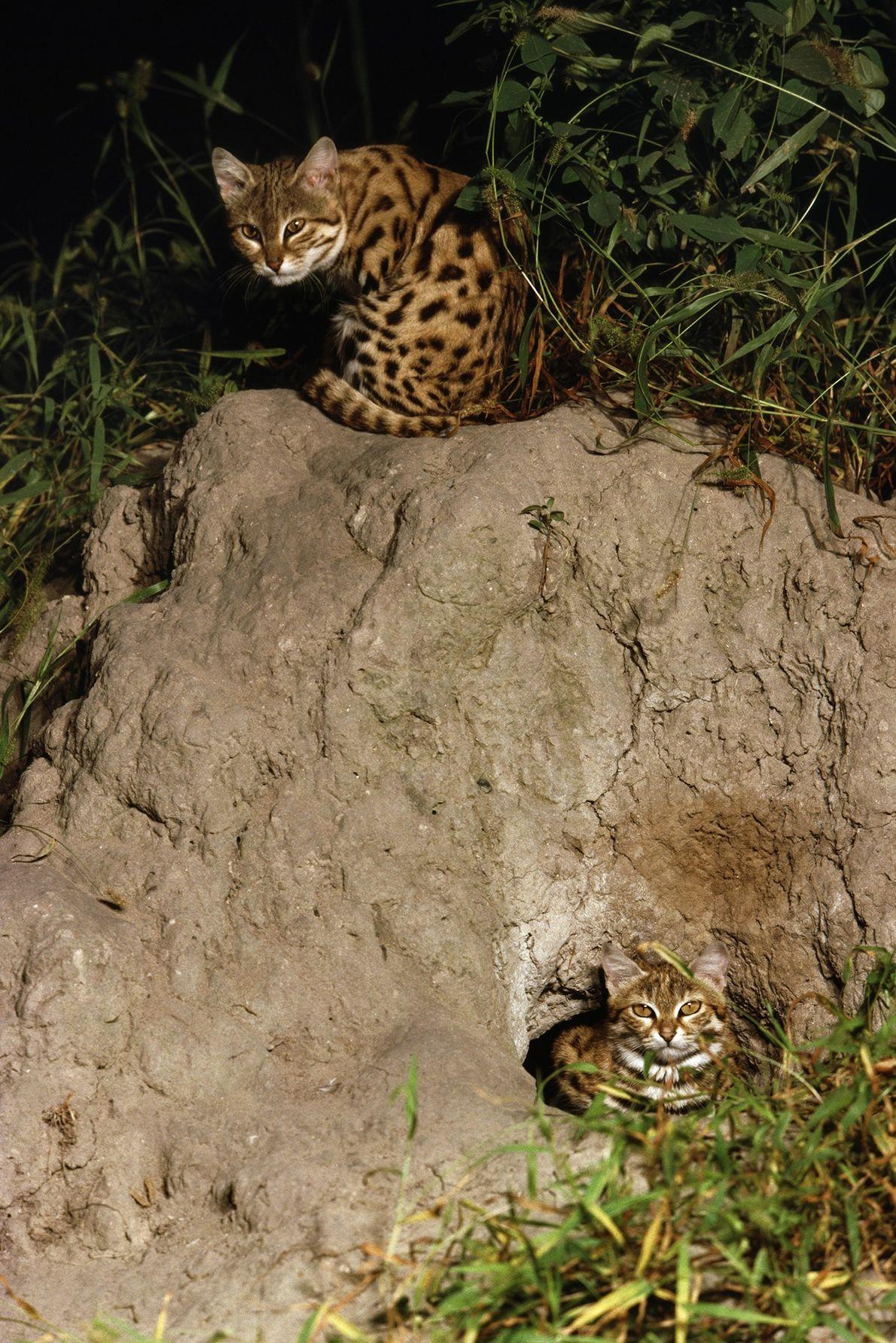 Cette photographie, prise en 2011, montre des chats à pieds noirs (Felis nigripes) pelotonnés près de ...