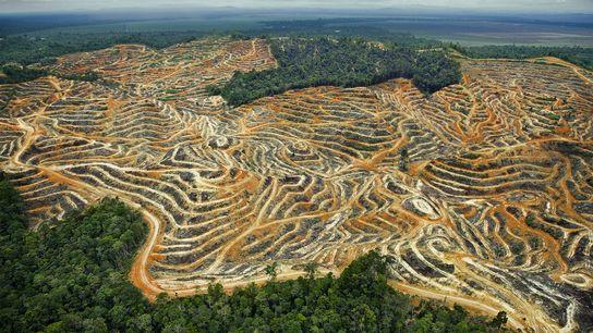 Les anciennes forêts tropicales se sont transformées en un paysage aride de plantations de palmiers à ...