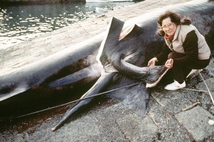 Au Japon, Clark examine le ptérygopode d'un requin pélerin mâle.