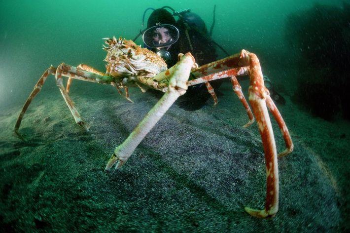 En 1984, Clark nage aux côtés d'un crabe géant du Japon.