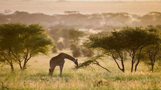 Une girafe broute dans le parc national du Serengeti en Tanzanie.