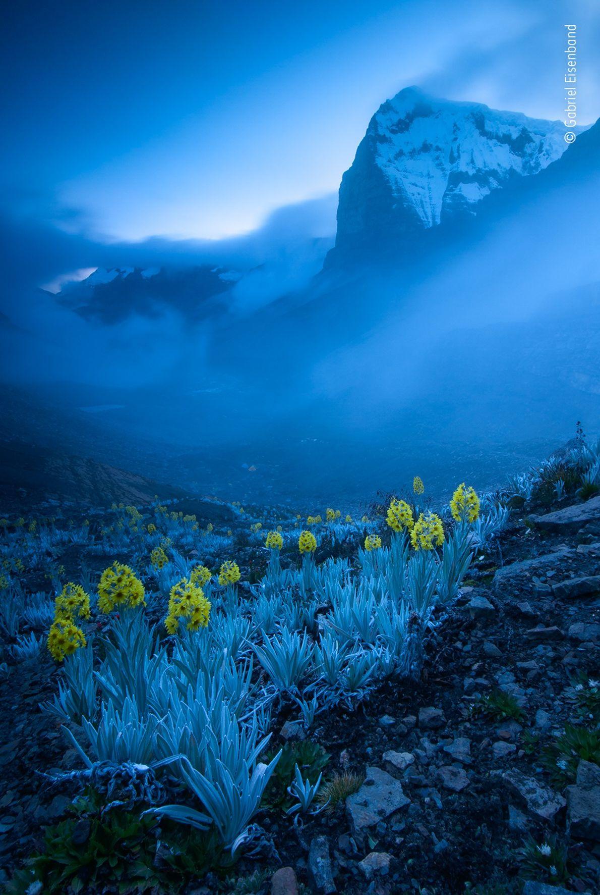 Gabriel Eisenband est l'auteur de cette photographie de fleurs d'arnica blanche, une espèce endémique de Colombie. Elle ...