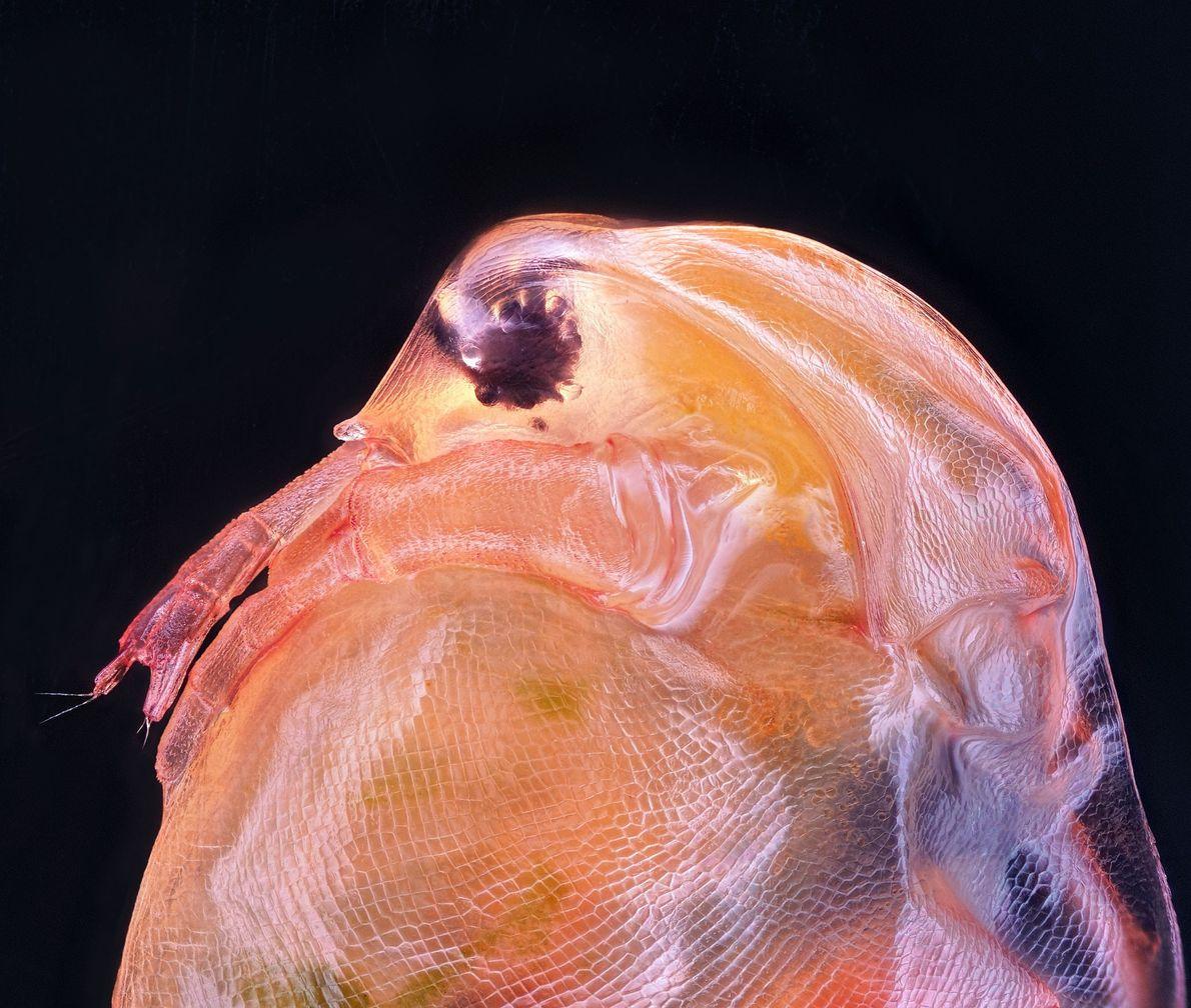 Le Daphnia magna, ou puce d'eau, est un petit crustacé fréquemment utilisé comme organisme expérimental pour ...