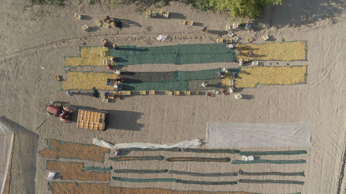 Turquie : dans la province de Malatya, des vergers composés de plus de huit millions d'abricotiers s'étendent ...