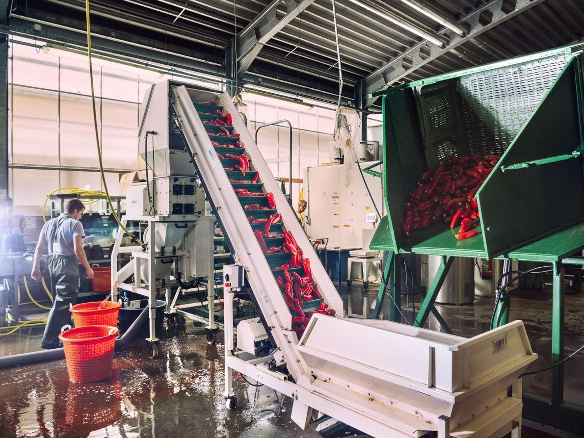 La production d'une nouvelle variété est un processus complexe qui demande des années. Des poivrons rouges ...