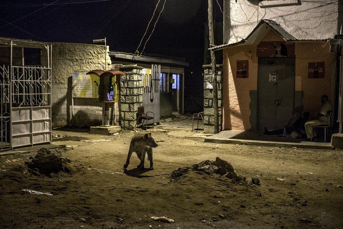 Dans le village d'Harar, une hyène passe à côté d'agents de police pendant la nuit. Les ...