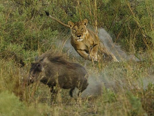 Des lionnes prennent d'assaut un phacochère et son marcassin