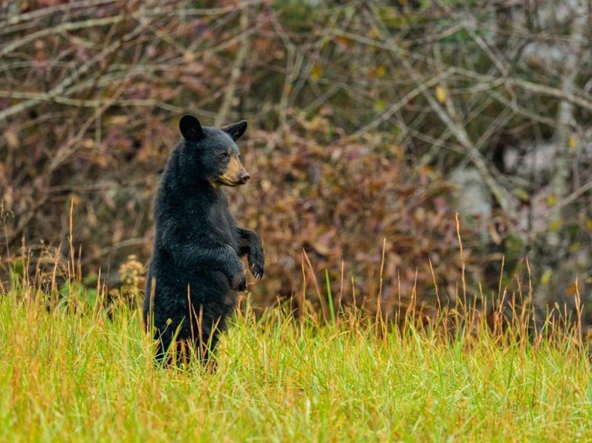 L'ours noir est l'animal le plus charismatique et le plus populaire du parc national des Great ...