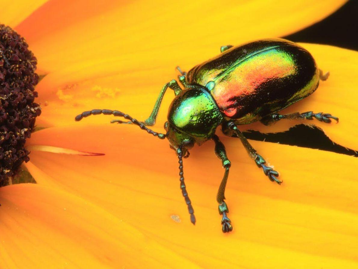 Ce scarabée iridescent de la famille des apocynacées qui prend la pose sur une Rudbeckie hirta ...